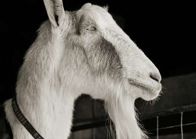 Isa Leshko, Abe, Alpine Goat, Age 21, 2011, archival pigment print, 9 x 9 inches: image, 17 x 17 inches: frame, Edition of 15