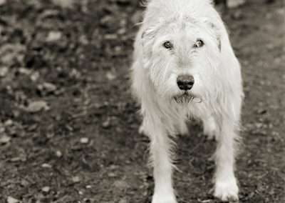 Isa Leshko, Kelly, Irish Wolfhound, Age 11, 2008, archival pigment print, 9 x 9 inches: image, 17 x 17 inches: frame, Edition of 15