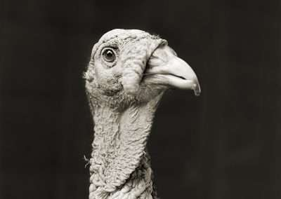 Isa Leshko, Marino, Bronze Turkey, Age 5, 2011, archival pigment print, 9 x 9 inches: image, 17 x 17 inches: frame, Edition of 15
