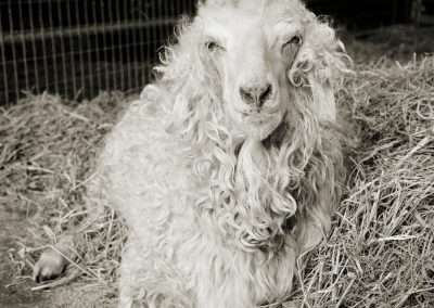 Isa Leshko, Melvin, Angora Goat, Age 11+, 2016, archival pigment print, 9 x 9 inches and 18 x 18 inches: image, each size is offered in an edition of 15